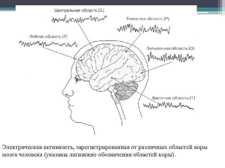 Электрическая активность, зарегистрированная от различных областей коры мозга человека (указаны латинские обозначения областей коры).
