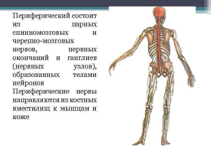 Периферический состоит из парных спинномозговых и черепно-мозговых нервов, нервных окончаний и ганглиев (нервных узлов),