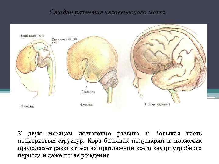 Стадии развития человеческого мозга. К двум месяцам достаточно развита и большая часть подкорковых структур.