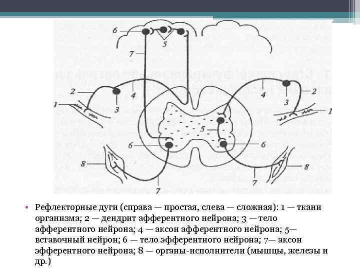 • Рефлекторные дуги (справа — простая, слева — сложная): 1 — ткани организма;