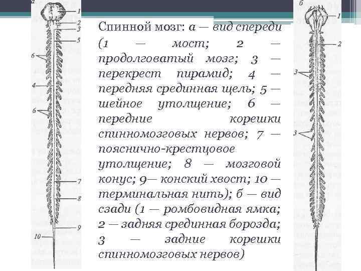 Спинной мозг: а — вид спереди (1 — мост; 2 — продолговатый мозг; 3