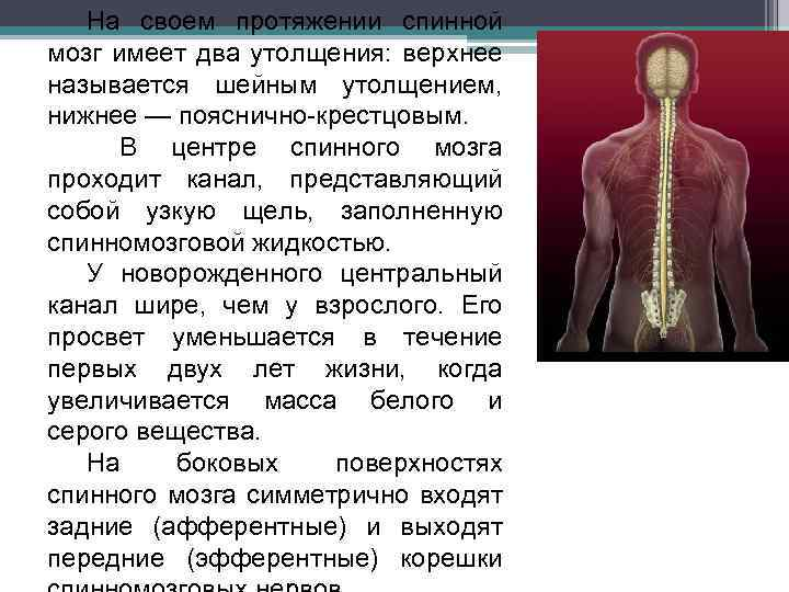 На своем протяжении спинной мозг имеет два утолщения: верхнее называется шейным утолщением, нижнее —