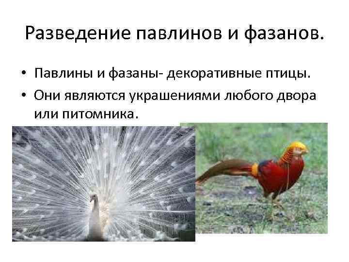 Разведение павлинов и фазанов.  • Павлины и фазаны- декоративные птицы.  • Они