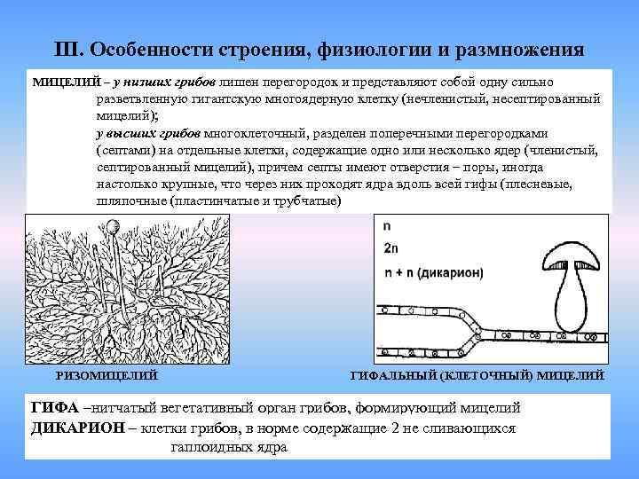 Перегородки разделяющие гифы грибов