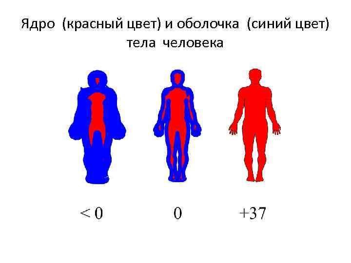 Ядро (красный цвет) и оболочка (синий цвет) тела человека