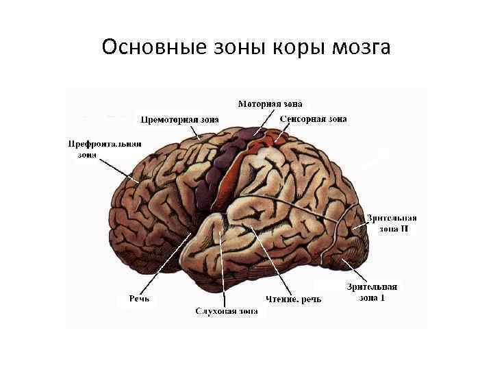 Основные зоны коры мозга