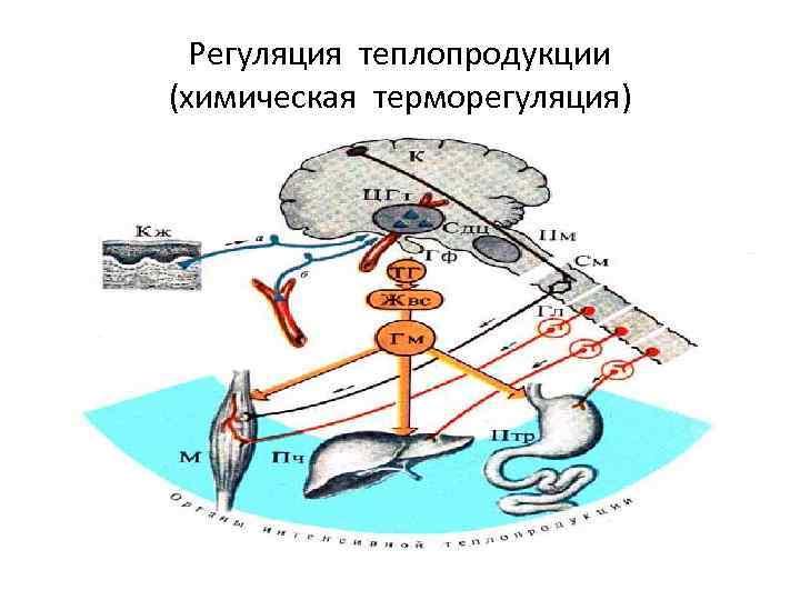 Регуляция теплопродукции (химическая терморегуляция)