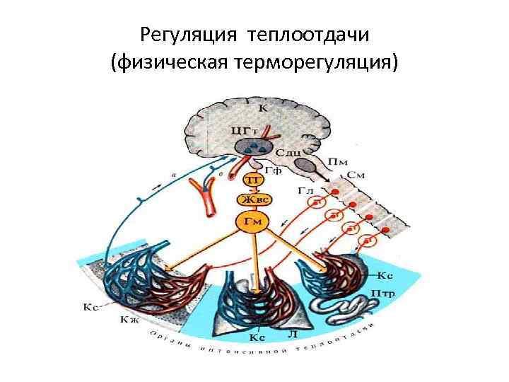 Регуляция теплоотдачи (физическая терморегуляция)