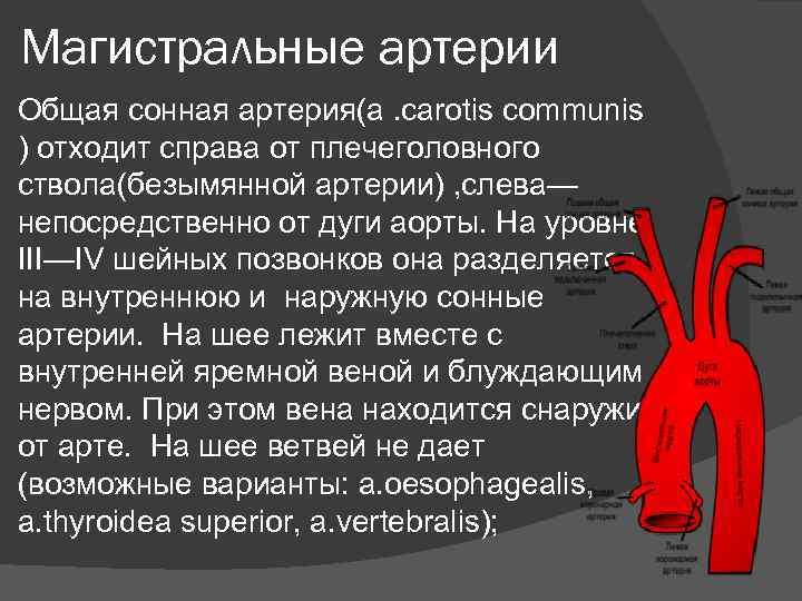 Магистральные артерии Общая сонная артерия(a. carotis communis ) отходит справа от плечеголовного ствола(безымянной артерии)