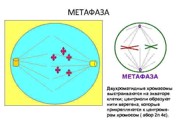 МЕТАФАЗА Двухроматидные хромасомы выстраиваются на экваторе клетки; центриоли образуют нити веретена, которые прикрепляются к