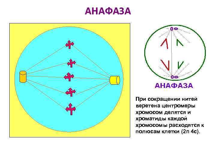 АНАФАЗА При сокращении нитей веретена центромеры хромосом делятся и хроматиды каждой хромосомы расходятся к