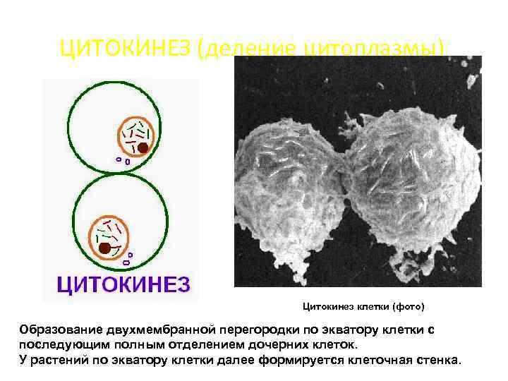 ЦИТОКИНЕЗ (деление цитоплазмы) Цитокинез клетки (фото) Образование двухмембранной перегородки по экватору клетки с последующим