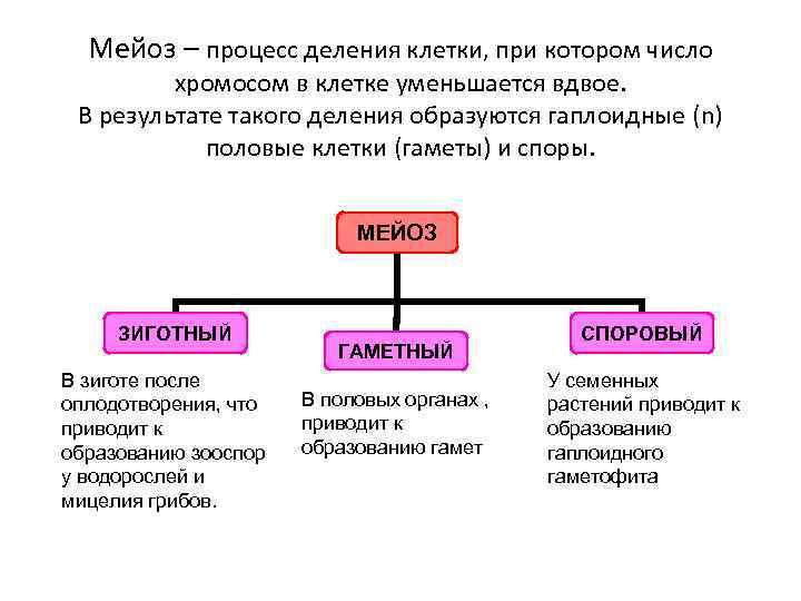 Мейоз – процесс деления клетки, при котором число хромосом в клетке уменьшается вдвое. В
