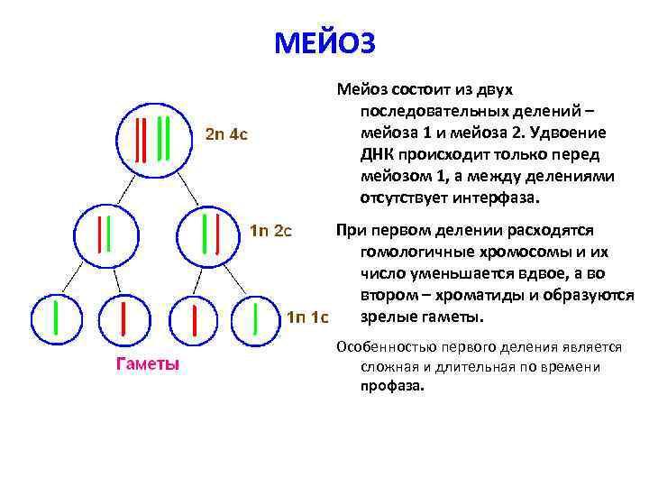 МЕЙОЗ Мейоз состоит из двух последовательных делений – мейоза 1 и мейоза 2. Удвоение