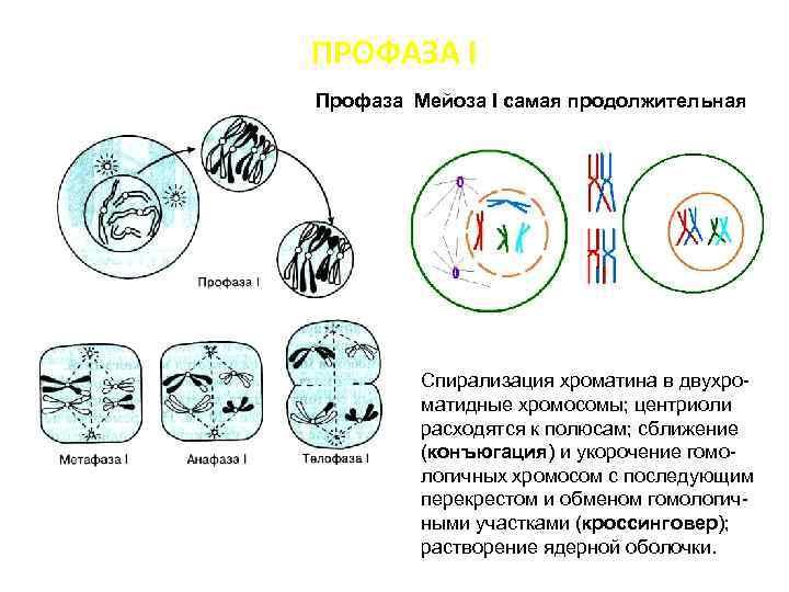 ПРОФАЗА I Профаза Мейоза I самая продолжительная Спирализация хроматина в двухроматидные хромосомы; центриоли расходятся