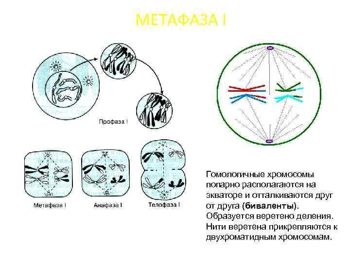 МЕТАФАЗА I Гомологичные хромосомы попарно располагаются на экваторе и отталкиваются друг от друга (биваленты).