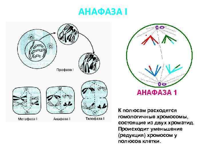 АНАФАЗА I К полюсам расходятся гомологичные хромосомы, состоящие из двух хроматид. Происходит уменьшение (редукция)