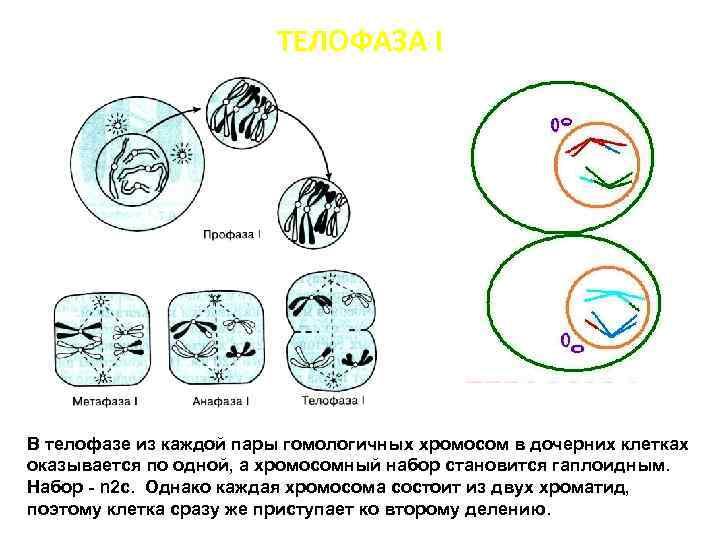 ТЕЛОФАЗА I В телофазе из каждой пары гомологичных хромосом в дочерних клетках оказывается по