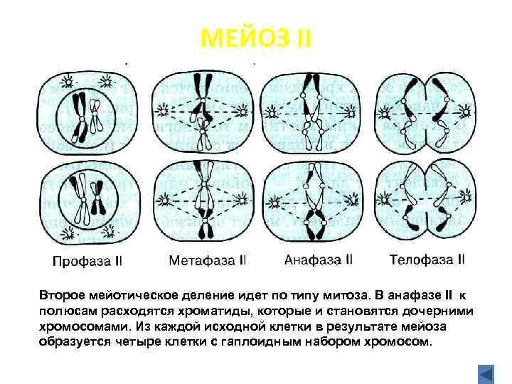 МЕЙОЗ II Второе мейотическое деление идет по типу митоза. В анафазе II к полюсам