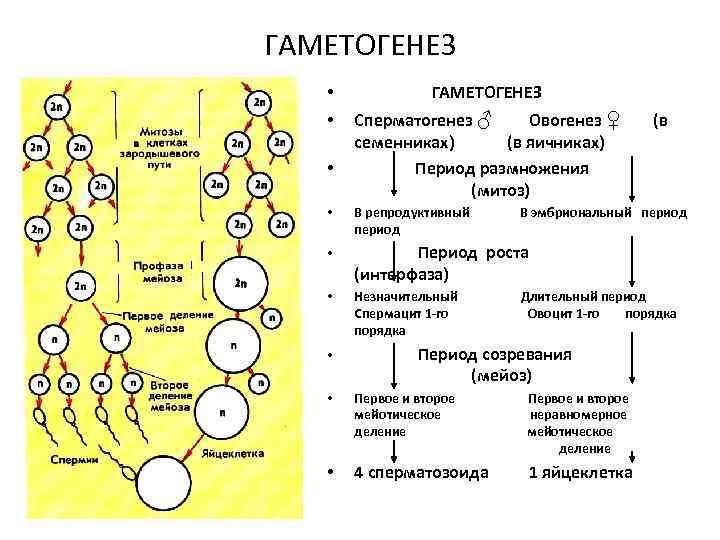 ГАМЕТОГЕНЕЗ • ГАМЕТОГЕНЕЗ • Сперматогенез ♂ Овогенез ♀ семенниках) (в яичниках) Период размножения (митоз)