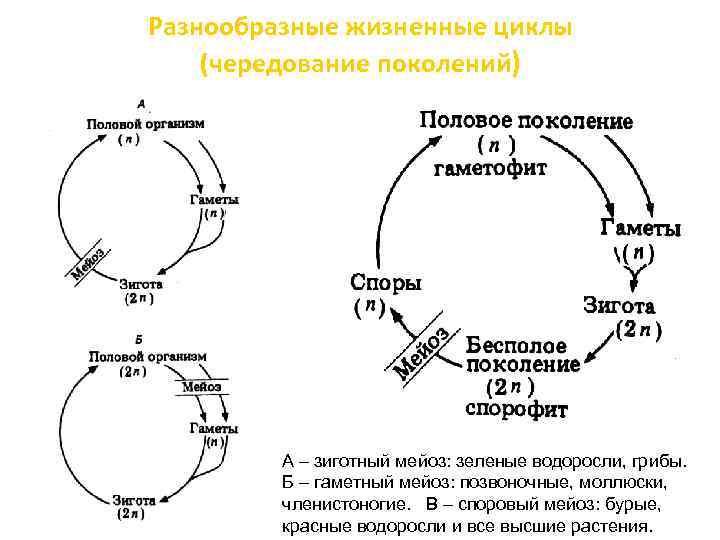 Разнообразные жизненные циклы (чередование поколений) А – зиготный мейоз: зеленые водоросли, грибы. Б –