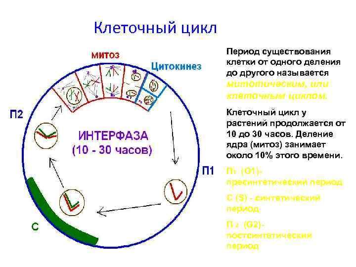 Клеточный цикл Период существования клетки от одного деления до другого называется митотическим, или клеточным