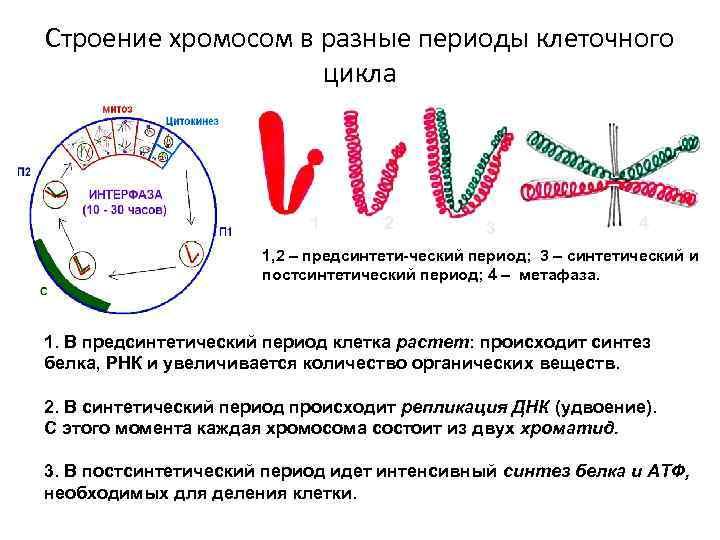 Строение хромосом в разные периоды клеточного цикла 1 2 3 4 1, 2 –