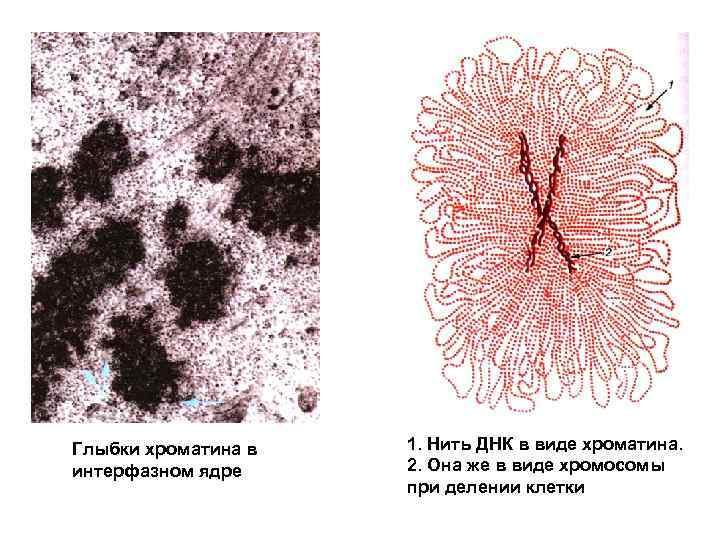 Глыбки хроматина в интерфазном ядре 1. Нить ДНК в виде хроматина. 2. Она же