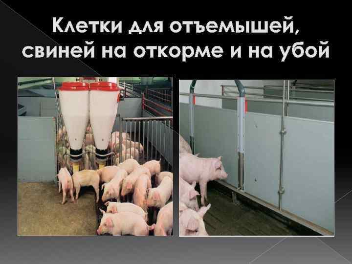 Клетки для отъемышей, свиней на откорме и на убой