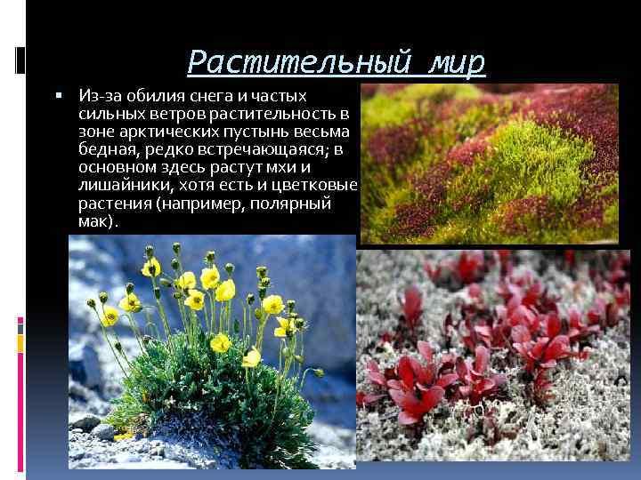 Растительный мир Из-за обилия снега и частых сильных ветров растительность в зоне арктических пустынь