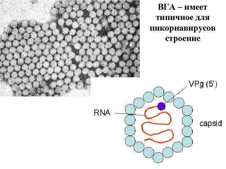 ВГА – имеет типичное для пикорнавирусов строение