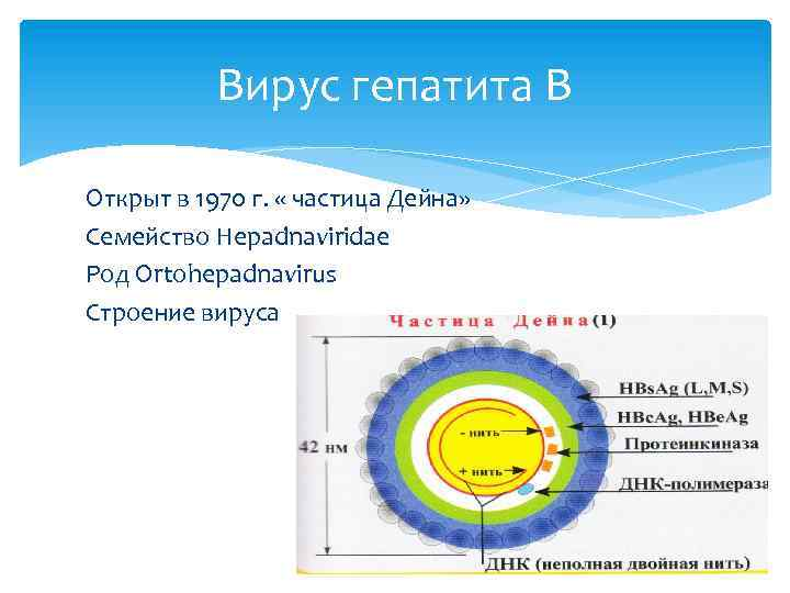 Вирус гепатита В Открыт в 1970 г. « частица Дейна» Семейство Hepadnaviridae Род Ortohepadnavirus
