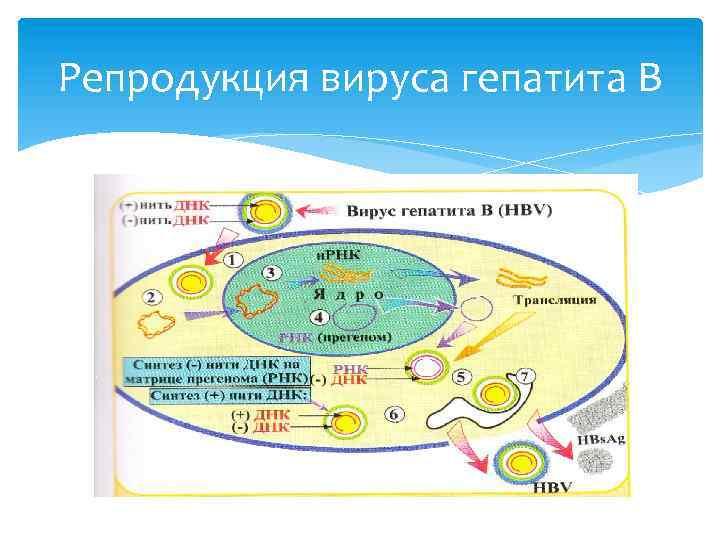 Репродукция вируса гепатита В