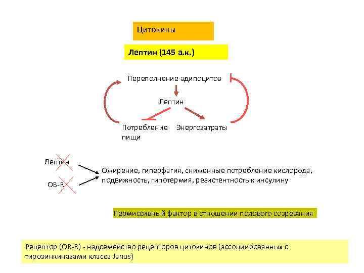 Цитокины Лептин (145 а. к. ) Переполнение адипоцитов Лептин Потребление пищи Лептин OB-R Энергозатраты