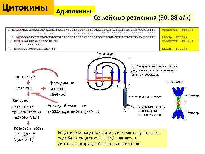 Цитокины Адипокины Семейство резистина (90, 88 а/к) Протомер Глобулярная головная часть из соединенных дисульфидными
