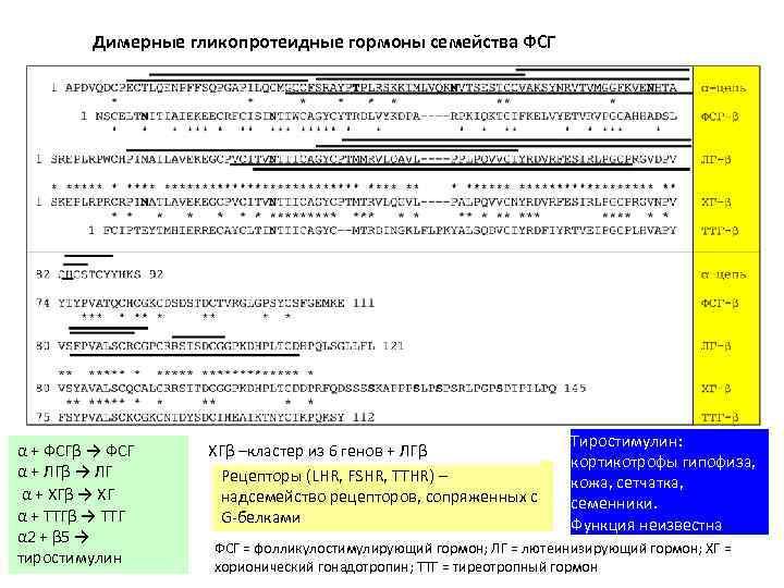 Димерные гликопротеидные гормоны семейства ФСГ α + ФСГβ → ФСГ α + ЛГβ →