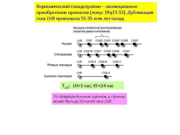Хорионический гонадотропин – эволюционное приобретение приматов (локус 19 q 13. 32). Дубликация гена LHB