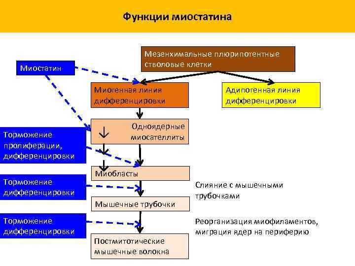 Функции миостатина Мезенхимальные плюрипотентные стволовые клетки Миостатин Миогенная линия дифференцировки Торможение пролиферации, дифференцировки Торможение