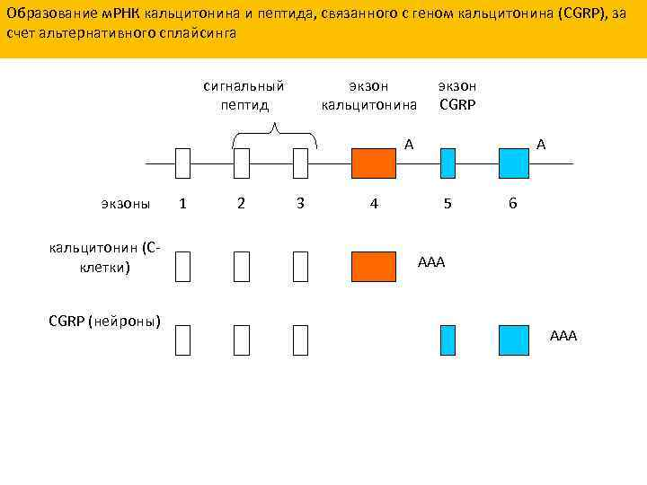 Образование м. РНК кальцитонина и пептида, связанного с геном кальцитонина (CGRP), за счет альтернативного