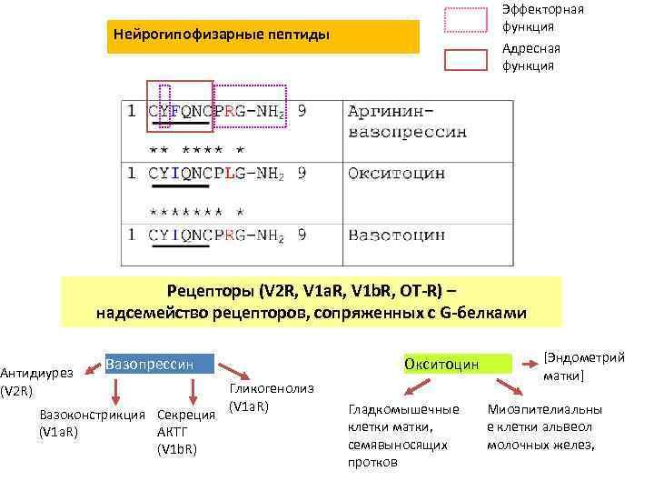Эффекторная функция Нейрогипофизарные пептиды Адресная функция Рецепторы (V 2 R, V 1 a. R,
