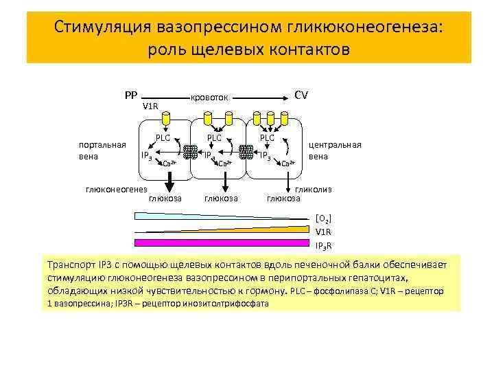 Стимуляция вазопрессином гликюконеогенеза: роль щелевых контактов РР портальная вена PLC IP 3 глюконеогенез CV
