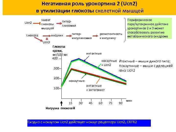 Негативная роль урокортина 2 (Ucn 2) в утилизации глюкозы скелетной мышцей Ucn 2 захват