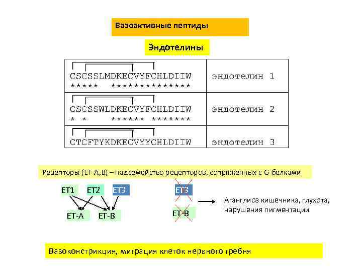 Вазоактивные пептиды Эндотелины Рецепторы (ET-A, B) – надсемейство рецепторов, сопряженных с G-белками ET 1