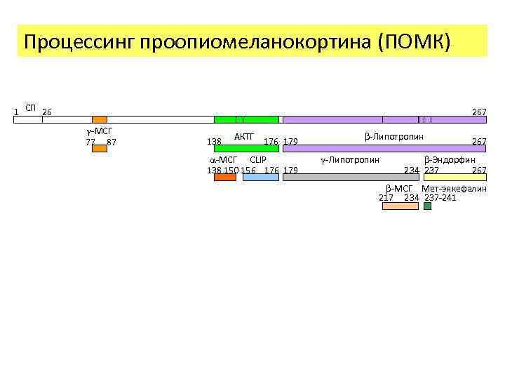 Процессинг проопиомеланокортина (ПОМК) 1 СП 26 267 -МСГ 77 87 138 АКТГ 176 179