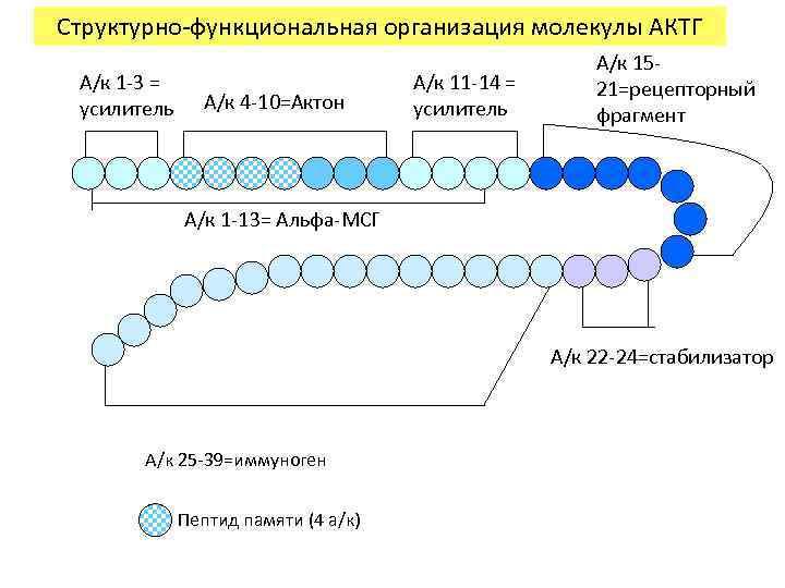 Структурно-функциональная организация молекулы АКТГ А/к 1 -3 = усилитель А/к 4 -10=Актон А/к 11