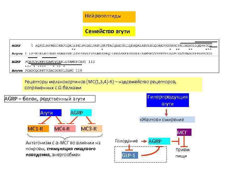 Нейропептиды Семейство агути Рецепторы меланокортинов (MC(1, 3, 4)-R) – надсемейство рецепторов, сопряженных с G-белками