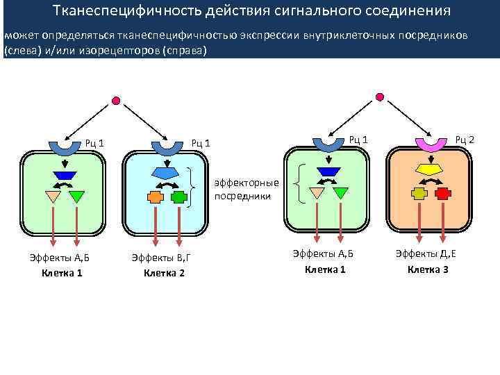Тканеспецифичность действия сигнального соединения может определяться тканеспецифичностью экспрессии внутриклеточных посредников (слева) и/или изорецепторов (справа)