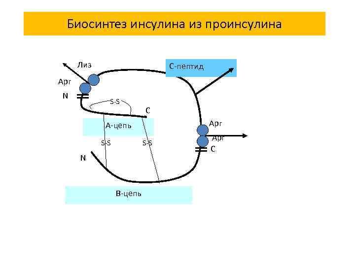 Биосинтез инсулина из проинсулина Лиз C-пептид Арг N S-S C Арг А-цепь S-S N