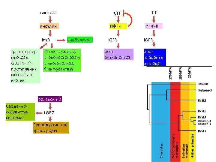 глюкоза СТГ ПЛ инсулин ИФР-II Ins. R транспортер глюкозы GLUT 4 - ↑ поступления