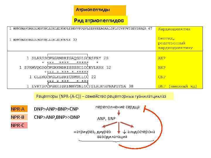 Атриопептиды Ряд атриопептидов Рецепторы (NPR-(A-C)) – семейство рецепторных гуанилатциклаз NPR-A DNP>ANP>BNP>CNP NPR-B CNP>ANP, BNP>>DNP